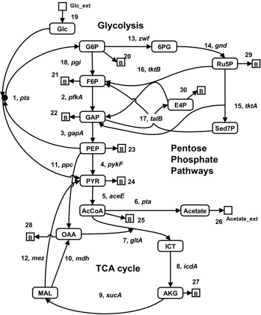 A Schematic Diagram Of Central Metabolism For E Coli