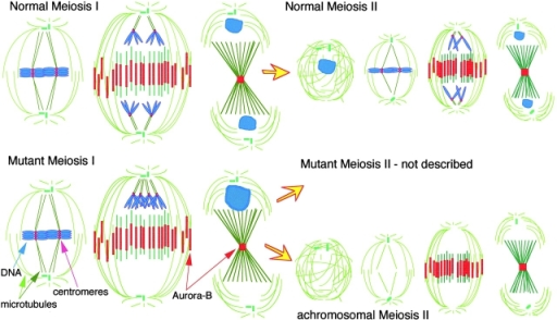 Diagrams showing the normal events of meiosis I & II, and the unusual events of meiosis II that occur in Drosophila fusolo and solofuso mutants. Chromosomes (blue); microtubules (green); Aurora B (red). This kinase is initially associated with centromeres but binds to the central spindle after anaphase.