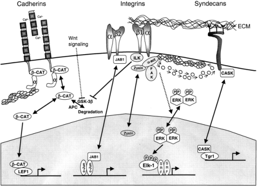 Adhesion regulation of nucleocytoplasmic trafficking of signaling molecules. CAMs regulate the nucleocytoplasmic trafficking by several mechanisms. Firstly, cadherins, β2 integrins, and syndecans directly act as cytoplasmic anchors for β-catenin, JAB1, and CASK, respectively. Nuclear accumulation of β-catenin may also be regulated by the integrin-linked kinase pathway. In the nucleus, β-catenin interacts with the TCF family member LEF-1 to regulate expression of genes, such as c-Myc and cyclin D1. JAB1 interacts with c-Jun containing AP-1 complexes, and enhances transactivation from AP-1–dependent promoters. CASK binds DNA in a complex with Tbr-1 to induce transcription of genes important in cerebrocortical development. Second, protein complexes associated with sites of adhesion act as sinks for a variety of proteins, for example zyxin, that contain LIM domains and traffic to the nucleus. Additionally, integrin-mediated adhesion and an intact actin cytoskeleton are important in controlling efficient ERK nucleocytoplasmic trafficking and phosphorylation of downstream transcription factors.