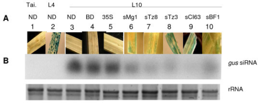 Effect of the P1 protein from different RYMV isolates on silencing suppression in rice. Transgenic L10 leaves were analysed after different treatments; non-biolistic delivery (ND), buffer delivery (BD), biolistic delivery with a empty 35S vector (35S), or vectors containing different sP1 from RYMV isolates representative of the viral phylogeny (CI63, Mg1, Tz8, Tz3, BF1). Non transgenic Tai and transgenic L4 served as controls. (A) Photographs correspond to GUS staining at 2 dpd of inoculated leaves. (B) Quantitative effect of different P1 at 2 dpd on gus-specific siRNA with Northern blot experiments. EtBr staining of rRNA served as a loading control.