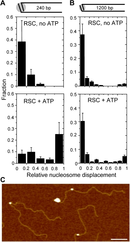 Quantification of remodeled nucleosome position.The nucleosome position was determined relative to the normalized DNA contour length. The histograms show the relative nucleosome displacement when remodeling without (top) or with (bottom) ATP. We could not discriminate to which DNA arm each nucleosome was translocated. The relative nucleosome displacement is 0 for the DNA center from where the nucleosome translocation is initiated and 1 for the DNA end. A) Mononucleosome with 240 bp arms with (N = 124) or without (N = 112) ATP. Bin size 48 bp. B) Mononucleosome with 1200 bp arms with (N = 204) or without (N = 194) ATP. Bin size 120 bp. C) AFM image of mononucleosomes with 1200 bp arms of which one with RSC bound to a DNA end. Scale bare is 100 nm, z-range 4 nm.