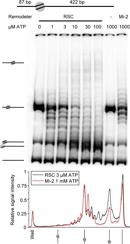 Stepwise nucleosome remodeling on off-centre nucleosomes.Native 4% acrylamide gel with 5 nM RSC or 10 nM Mi-2 on 11.5 nM nucleosomes with a 87 and a 422 bp arm for 1 hour and a 0–100 µM ATP titration (RSC) or 1 mM ATP (Mi-2) (Upper panel). The graph in the lower panel shows the relative signal intensity of two acrylamide gel lanes, one with RSC remodeled mononucleosomes (3 µM ATP) and one with Mi-2 remodeled mononucleosomes (1 mM ATP).
