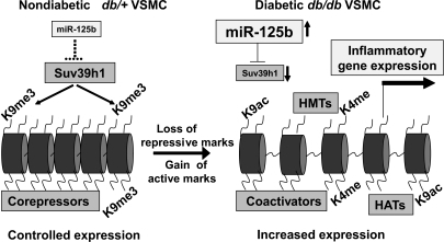 Model for the mechanisms related to miR-125b mediated decrease in SUV39H1, leading to loss of repression of inflammation in diabetic VSMC. Diabetic conditions in the db/db VSMC can promote the decrease of Suv39h1 (via increased miR-125b) and concomitant loss of repressive chromatin marks such as H3K9 trimethylation (K9me3) relative to nondiabetic db+ cells. This can lead to a more open chromatin state (right) characterized by active chromatin marks such as K4methylation (K4me) and related HMTs, K9acetylation (K9ac) and related coactivators and histone acetyl transferases (HATs) generally associated with active gene expression. Together such events can result in increased expression of inflammatory genes. Various combinations of histone modifications are likely to be involved.