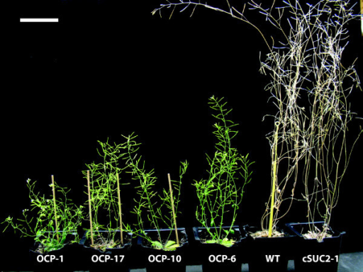 Delayed senescence in OCP lines relative to WT and cSUC2 lines. 60-day old representative plants of the indicated lines. Note the shortened internodes and lack of senescence among the OCP plants; OCP-1 still has active blooms. Scale bar is 5 cm.