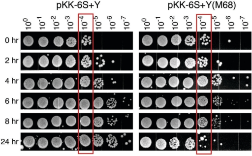 Escherichia coli cells overexpressing 6S(M68) RNA have decreased viability in stationary phase compared to cells overexpressing wild-type 6S RNA. Viability of E. coli ssrS1 cells containing pKK-6S+Y (left panel) or pKK-6S+Y(M68) was monitored by spot titration from 0 to 24 h after growth in culture was initiated from a suspension of cells scraped off agar plates. Cultures were serially diluted 1:10 and 10 µl of each dilution was spotted onto LB plates. The red boxes surrounding 10-4 dilutions are to facilitate comparison. Experiments were done with at least three cultures per cell type. Results from matching cell types were very similar; a representative set is shown here.