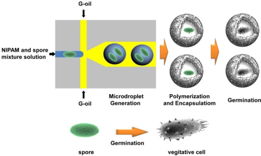 Schematic illustration of the BT spore-encapsulation process and the germination of BT spores in the microcapsules.