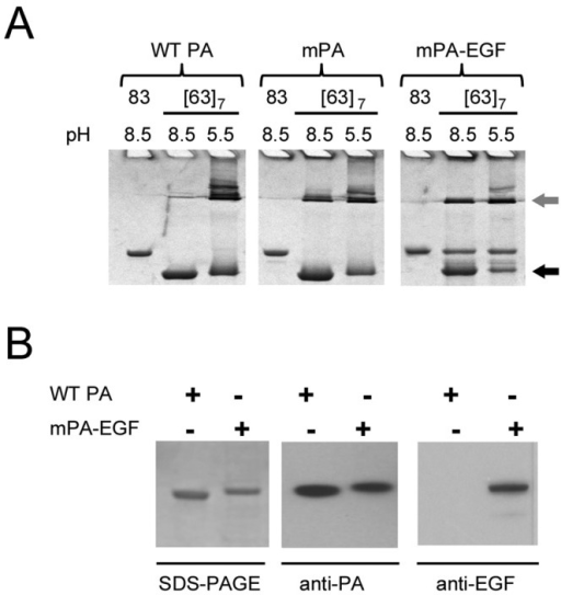 Characterization of purified mPA-EGF. (A) Conversion of PA63 oligomers from the SDS-dissociable prepore state (black arrow) to the SDS-resistant pore state (gray arrow) at different pH values. Samples (5 µg) of native (83 kDa) and proteolytically activated ([63]7) forms of WT PA, mPA, and mPA-EGF were separated by SDS-PAGE and visualized by Coomassie blue staining. (B) Western blot analysis with anti-PA and anti-EGF antibodies demonstrating the presence of both the PA and EGF epitopes in the purified fusion protein.