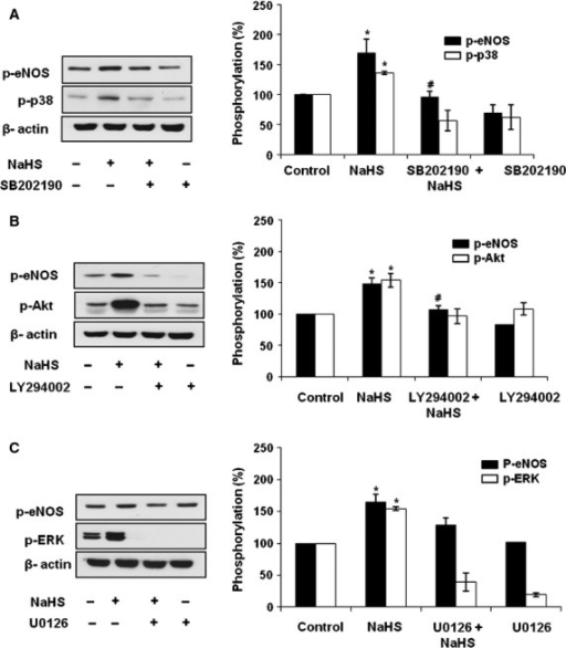 H2S-stimulated endothelial NO synthase (eNOS) phosphorylation is dependent on p38 MAPK and Akt. Endothelial cells (ECs) were pre-treated with (A) SB203580 (10 μM), (B) LY294002 (10 μM), and (C) U0126 (10 μM) for 1 hr and then treated with NaHS (100 μM) for 30 min. Cell lysates were harvested and the level of phosphorylated forms of p38 MAPK, Akt, ERK and eNOS were measured by Western blot. n = 3, *P < 0.05 versus control, #P < 0.05 versus NaHS-treated group.