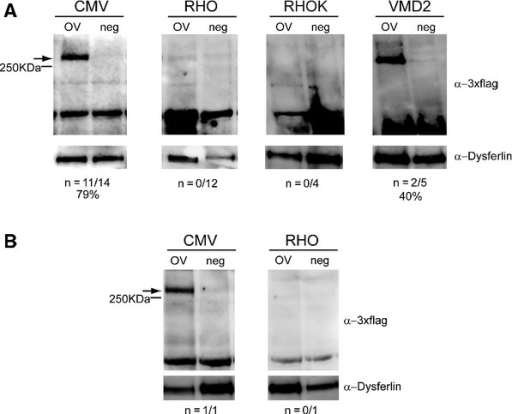 A–B Representative Western blot analysis of C57BL/6 (A) and Large White pig (B) retinal lysates 1 month following injection of dual AAV2/8 overlapping vectors encoding for ABCA4-3xflag (OV) or AAV2/8 vectors expressing EGFP (neg), under the control of the ubiquitous cytomegalovirus (CMV) promoter, the PR-specific Rhodopsin (RHO) and Rhodopsin kinase (RHOK) promoters, or the RPE-specific vitelliform macular dystrophy 2 (VMD2) promoter. The arrows indicate full-length proteins, the molecular weight ladder is depicted on the left, 150 μg of proteins were loaded in each lane. The number ( n) and percentage of ABCA4-positive retinas out of total retinas analyzed is depicted; α-3xflag, Western blot with anti-3xflag antibody; α-Dysferlin, Western blot with anti-Dysferlin antibody, used as loading control.