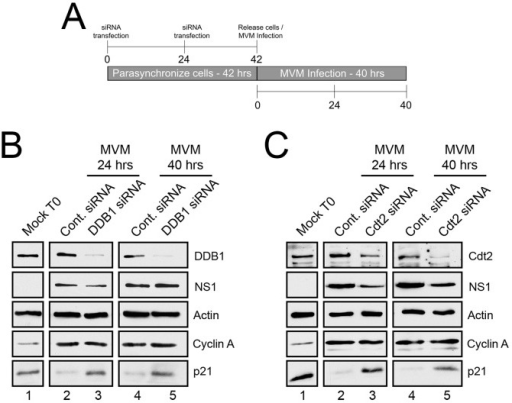 p21 degradation is mediated by the CRL4Cdt2 ligase complex.A) Schematic illustrating the experimental protocol for siRNA knockdown of ligase components in Figures 1B and 1C. B and C) p21 degradation requires DDB1 (B) and Cdt2 (C). Murine A9 cells were targeted with control siRNA or siRNA to DDB1 (B) or Cdt2 (C) as depicted in Figure 1A. Uninfected control cells were harvested at the time of release (Mock T0). Infections were done at the time of release at an MOI of 10 before harvest at 24 and 40 hr pi. Western blots were performed using antibodies against the indicated proteins.