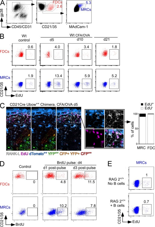 MRCs proliferate during inflammation. (A) Flow cytometry gating strategies used to identify MRCs (gp38+ MAdCam-1+ CD45− CD31− CD21/35−) and FDCs (gp38+ CD45− CD31− CD21/35+) in LN cellular suspensions. WT mice (B) and CD21Cre Ubow++ chimeras (C) were subcutaneously injected or not with an emulsion of CFA/OVA. (B) 4, 9, or 20 d later, mice received a single i.p. injection of EdU to label proliferating cells. 1 d later, the percentages of EdU+ MRCs and EdU+ FDCs present in the peripheral inflamed LNs of WT mice were analyzed by flow cytometry. (C) The percentage of EdU+ MRCs (arrowheads) and EdU+ FDCs was determined at day 5 by confocal imaging in the inflamed LNs of CD21Cre Ubow++ chimeras. Insets display high-magnification views of EdU+ MRCs. Bars, 25 µm. Data are representative of 3 experiments (at least 4 mice pooled per group in B and 2 LNs analyzed per mouse in C). (D) WT mice were injected s.c. with CFA/OVA in ears and footpads, followed by BrdU injection (i.p) on day 4. This pulse of BrdU was followed by a chase period of 1 and 3 d. At the end of the chase period, the percentage of BrdU-labeled MRCs and FDCs was determined by flow cytometry. Data are representative of 3 different experiments (5 mice pooled per group). (E) RAG-2°/° mice were adoptively transferred or not with 6 × 107 WT polyclonal B cells. 1 wk later, mice received a single injection of EdU. The proportion of EdU+ cells among the MRCs and FDCs of peripheral LNs were analyzed one day later by flow cytometry. At this stage, no mature FDCs could be recovered from the LNs of both types of mice. Data are representative of 3 different experiments (5 mice pooled per group).