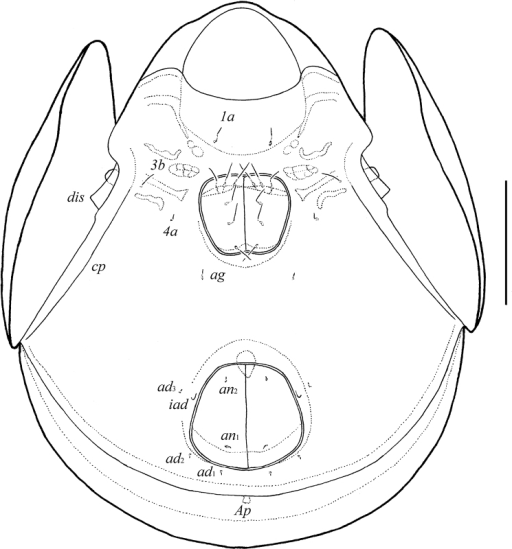 Galumna granalata Aoki, 1984, adult: ventral view (gnathosoma and legs not illustrated). Scale bar 100 μm.