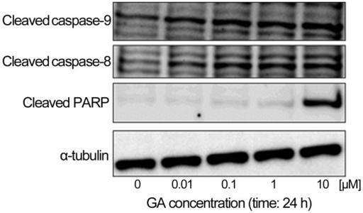 Geldanamycin (GA) induces apoptosis in KTHOS cells. Western blot analysis of caspase and PARP cleavage in KTHOS cells treated with various concentrations of GA for 24 h. α-tubulin was used as a loading control.