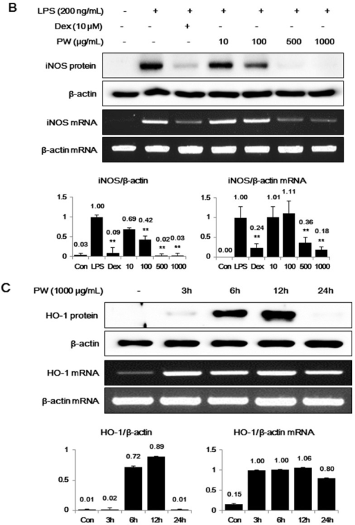 The effects of PW on (A) cyclooxygenase-2 (COX-2), (B) inducible NO synthase (iNOS) and (C,D) heme oxygenase-1 (HO-1) in macrophages. The cells were treated with (A,B) LPS alone or with LPS and PW for 24 h and (C,D) PW alone for the indicated periods. Protein levels were evaluated using Western blot analysis as described in the Materials and Methods and were quantitated using a Davinch-chemi™ Chemiluminescence Imaging System CAS-400SM (Core Bio, Seoul, Korea). The experiment was repeated three times independently and similar results were obtained. Con: control; Dex: Dexamethasone. **p < 0.001 in comparisons of the (A,B) LPS-stimulation value or (D) non-treated control value.