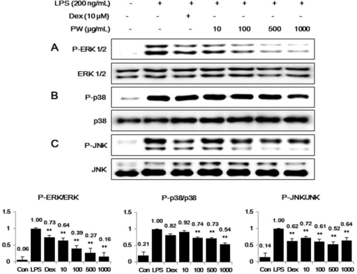 Effect of PW on MAPK phosphorylation in macrophages: (A) extracellular signal-regulated kinase (ERK); (B) p38 and (C) c-Jun NH2-terminal kinase (JNK). RAW 264.7 cells were treated with PW for 30 min before incubation with LPS for 30 min. Cell lysates were analyzed using Western blot analysis with specific antibodies. The experiment was repeated three times independently and similar results were obtained. Con: control; Dex: Dexamethasone. **p < 0.001 in comparisons of the LPS-stimulation value.