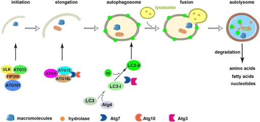 Process of autophagy. Autophagy includes five phases: initiation, elongation and autophagosome formation, fusion, and autolysosome formation. Macromolecules are targeted to double-membrane vesicles called autophagosomes and then autolysosomes form by fusion with lysosomes. Autophagy is initiated by the ULK1 complex containing ULK, Atg13, FIP200, and Atg101. Autophagosome elongation and maturation involves two ubiquitin-like conjugation systems, such as the microtubule-associated protein 1 light chain 3 (LC3) and the Atg12 systems. The autophagosome fuses with a lysosome to form an autolysosome, which degrades macromolecules into amino acids, fatty acids, and nucleotides.
