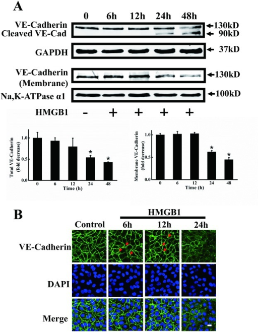Disruption of VE-cadherin and intercellular gap formation in HMGB1-treated EA.hy926 cells.A. Representative immunoblots showing reduced expression of VE-cadherin protein by HMGB1. Total and cell membrane VE-cadherin protein levels were measured by western blotting in EA.hy926 cells treated with HMGB1 for 6, 12, 24 and 48 h, respectively. GAPDH and Na,K-ATPase α1 were used as loading controls for intact cells and plasma membranes, respectively. Western blots were quantified and analyzed statistically based on three independent experiments. *Indicates significant difference compared with wild-type group (P<0.05). B. HMGB1 increased intercellular gap formation. EA.hy926 cells were plated onto a Petri dish until the formation of a tight monolayer then treated with 200 ng/ml HMGB1 for 6, 12 and 24 h, respectively. The cells were fixed and distribution of VE-cadherin was detected using rabbit anti-human VE-cadherin antibody and FITC-labeled goat anti-rabbit antibody. Nuclei were stained with DAPI. Red arrows indicate intercellular gaps. A merged picture is shown for each condition. A representative field for each condition was captured using an Olympus FV1000 confocal microscope. Scale bar = 10 μm.