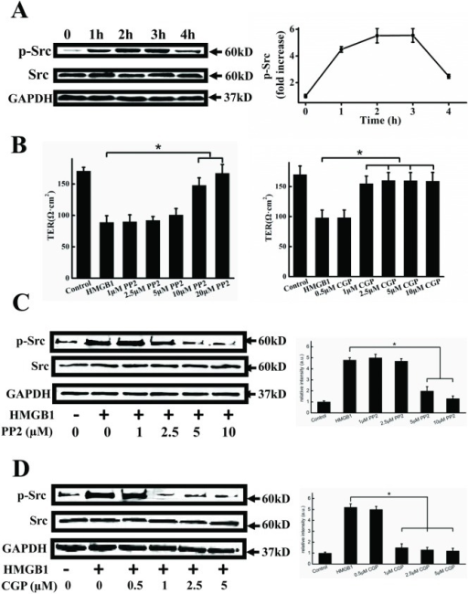 HMGB1 induces Src activation.A. Representative immunoblots showing HMGB1-induced Src activation. EA.hy926 cells were treated with 200 ng/ml HMGB1 for 1, 2, 3 and 4h, respectively. Cell lysates were analyzed by SDS-PAGE followed by western blotting using antibodies against phosphorylated Src and Src. B. PP2 and CGP77675 inhibit HMGB1-induced permeability. EA.hy926 cells were plated in the upper part of transwell chambers until the formation of a tight monolayer. The cells were preincubated with 1, 2.5, 5, 10 or 20μM PP2 (upper) or 0.5, 1, 2.5, 5 or 10 μM CGP77675 (lower) for 1 h, respectively. HMGB1 200 ng/ml was then added and the cells were incubated for an additional 24 h. After incubation, the integrity of the tight junctions was assessed by measuring the TER. Representative immunoblots showing that PP2 (C) and CGP77675 (D) decreased HMGB1-induced Src phosphorylation. Cells were preincubated with 1, 2.5, 5, or 10μM PP2 or 0.5, 1, 2.5 or 10 μM CGP77675 for 1 h, respectively. 200 ng/ml HMGB1 was then added and cells were incubated for an additional 24h. Cell lysates were analyzed by SDS-PAGE followed by western blotting using antibodies against phosphorylated Src and Src. GAPDH was used as a loading control. Western blots were quantified and analyzed statistically based on three independent experiments. Data are presented as mean ± SD of three independent experiments. *Indicates significant difference compared with the control group (P<0.05).