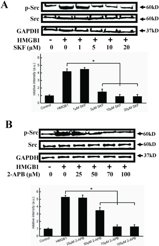 SKF96365 and 2-APB inhibit Src activation.Representative immunoblots showing that SKF96365 (A) and 2-APB (B) decreased HMGB1-induced Src phosphorylation. Cells were preincubated with 1, 5, 10, 20 μM SKF96365, or 25, 50, 70, 100 μM 2-APB for 1 h, respectively. 200 ng/ml HMGB1 was then added and cells were incubated for an additional 2 h. Cell lysates were analyzed by SDS-PAGE followed by western blotting using antibodies against phosphorylated Src and Src. GAPDH was used as a loading control. Western blots were quantified and analyzed statistically based on at least three independent experiments. Data are presented as mean ± SD of three independent experiments. *Indicates significant difference compared with the control group (P<0.05).
