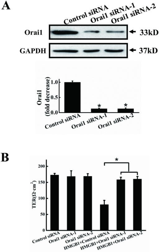 Orai1 knockdown decreases HMGB1-induced permeability.A. Orai1 protein expression after RNA inference. EA.hy926 cells were transfected for 48 h with Orai1 siRNA-1, Orai1 siRNA-2 or control (scrambled) siRNA. Cells were harvested and total protein was extracted and subjected to western blotting with anti-Orai1 antibodies, with anti-GAPDH antibodies as a loading control. Orai1 expression was quantified and analyzed statistically based on three independent experiments. B. HMGB1-induced permeability was inhibited by Orai1 knockdown. EA.hy926 cells were plated in the upper part of transwell chambers until the formation of a tight monolayer, then transfected with Orai1 siRNA-1, Orai1 siRNA-2 or control (scrambled) siRNA. HMGB1 200 ng/ml was added and cells were incubated for an additional 24 h. After incubation, endothelial permeability was assessed, as described above. Data are presented as mean ± SD of three independent experiments. *Indicates significant difference compared with the control group (P<0.05).