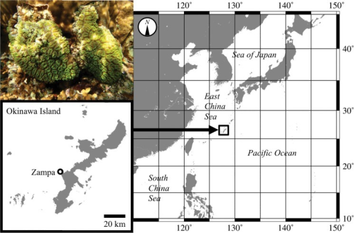 Photograph (upper left) and map showing the sampling location for Galaxea fascicularis.Zampa is located on Okinawa Island, Japan.