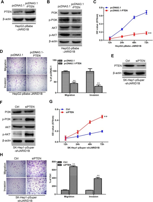 "JARID1B regulates PTEN transcriptional expression through H3K4 trimethylationA and B, the abundance of H3 lysine methylation was assessed in HCC cells with JARID1B overexpression (A) or silencing (B) by Western blotting using whole-cell lysate; total H3 and β-actin were used as a loading control. C, schematic presentation of three regions relative to the PTEN transcriptional start site used as primers to test histone occupied abundance. D and E, qChIP was performed to assess H3K4me3 occupancy in HepG2-pBabe-JARID1B (D), SK-Hep1-pSuper-shJARID1B (E) or their control cells. IgG was used as negative control (D and E, left). ""Percentage of input"" indicates the ratio of DNA fragment of each promoter region bound by H3K4me3 to the total amount of input DNA fragment without H3K4me3 antibody pull-down. **, P < 0.01 is based on the Student t test. All results are from three independent experiments. Error bars, SD."