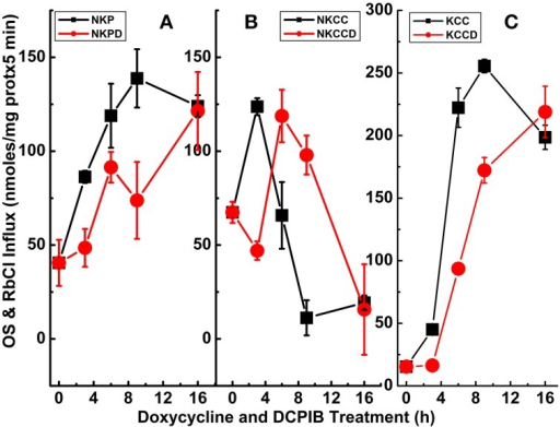 Constitutive KCC3 Thr991/Thr1048 dephosphorylation elicits potent Rb+ influx through ouabain-sensitive (NKP) and Cl-dependent (NKCC and KCC) pathways that are time-dependent and partially sensitive to DCPIB. Rb+ influx was measured simultaneously with the Ki contents of Figure 6 and as described in Materials and Methods, during induction with doxycycline (1 μg/ml) and ± DCPIB (50 μM). (A–C) Represent NKP, NKCC, and KCC without and with DCPIB (NKPD, NKCCD, and KCCD), respectively. Black squares in the absence and red circles in the presence of DCPIB. n = 3–6 individual determinations. There was a statistically significant difference between groups as determined by One-Way ANOVA for NKP vs. NKPD [F(8, 19) = 26.06], NKCC vs. NKCCD [F(8, 21) = 41.81] and KCC vs. KCCD [F(8, 21) = 368.3], p < 0.0005, n = 30. Data represent the mean ± SEM values. Representative results from 4 similar experiments.
