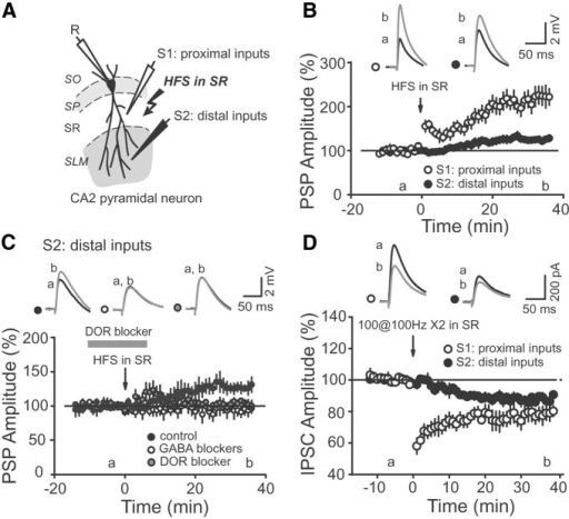 Stimulation in SR induces a heterosynaptic iLTD and increases distal excitatory drive onto CA2 PNs. A, Cartoon illustrating the arrangement of the stimulating recording electrodes in SR and SLM. B, Average PSP amplitudes of SR (open circles) and SLM (closed circles) inputs after HFS stimulation in SR. Note that both SR and SLM inputs are potentiated after the HFS (p = 0.00035 for SR inputs, p = 0.0017 for SLM inputs, n = 10), but only SR inputs show a rapid post-tetanic increase in amplitude. Top, Averaged PSP traces corresponding to the time points before (a) and after (b) HFS. C, The increase in distally evoked PSP after stimulation in SR was blocked by GABAA and GABAB receptor blockers (open circles, p = 0.52, n = 8) and by the DOR antagonist naltrindol (gray circles, p = 0.31, n = 6). D, Average amplitude of IPSCs evoked by stimulation in SR and SLM after HFS in SR. Note that both inputs express an inhibitory LTD after HFS in SR (p = 0.006 for SR inputs; p = 0.003 for SLM inputs, n = 6).
