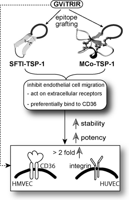 A schematic overview of the results from the present studyNewly designed cyclic TSP-1 analogues (SFTI-TSP-1 and MCo-TSP-1) were able to suppress HMVEC migration. Interestingly, these peptides had better inhibition of HMVEC migration (highlighted with a square box) compared with HUVECs, probably due to the overexpression of CD36 receptors in HMVECs but not in HUVECs. It is also possible that these peptides have the ability to inhibit VEGF as well since VEGF was added during the migration assay. Weaker inhibition was also observed in HUVEC migration although CD36 was not expressed in these cells. This might be due to the possibility of TSP-1 being able to inhibit β1-integrin receptors expressed in HUVECs. This was also observed in Short et al. [35]. Overall, cyclic TSP-1 analogues have better stability and potency (pathway shown in solid line) than the linear heptapeptide TSP-1 (pathway shown in dashed line).