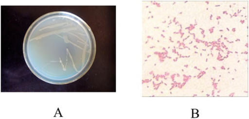 The colony morphology (A) and gram stain (B) of murine bacteria strain SD8.