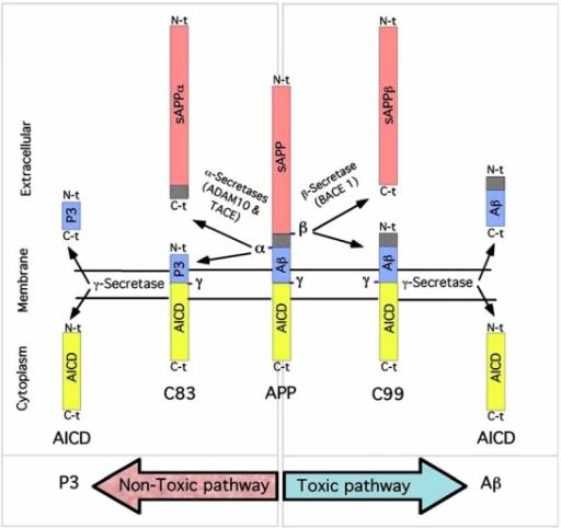 amyloid b peptide production alpha secretase Amphotericin b,  secretase inhibitors reduce beta-amyloid peptide levels in  beta-amyloid production by activating the alpha-secretase gene.