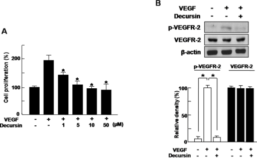 Decursin inhibits VEGF-induced migration and tube formation of HRMECs. A: Human retinal microvascular endothelial cells (HRMECs) were treated with 20 ng/ml vascular endothelial growth factor (VEGF) or 1–50 µM decursin for 24 h. A cell-proliferation assay with [3H]-thymidine was performed. Each value represents the mean (±SD) of three independent experiments. The asterisk indicates a p<0.05. B: HRMECs were treated with 20 ng/ml VEGF or 10 µM decursin for 5 min. Western blot analysis using phospho- (p-)VEGFR-2 and vascular endothelial growth factor receptor-2 (VEGFR-2) antibodies was performed, with β-actin serving as the loading control. Figures were selected as representative data from three independent experiments. Quantitative analysis was performed by measuring the intensity relative to the control. Each value represents means±SEM from three independent experiments. The asterisk indicates a p<0.05. The size of scale bars in figure A, B were 100 µm.