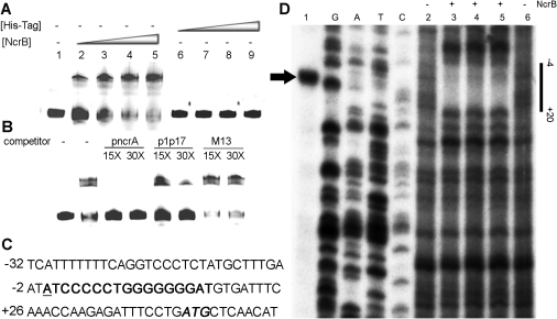 The interaction between NcrB and pncrA in vitro.Electromobility shift assays (A–B). (A) The pncrA fragment was incubated with His6-tagged NcrB or the His6-tag at the indicated concentrations. Lane 1, no protein; lane 2, 0.2 µM NcrB; lane 3, 0.4 µM NcrB; lane 4, 0.8 µM NcrB; and lane 5, 1.6 µM NcrB; lane 6, 0.2 µM His6-tag; lane 7, 0.4 µM His6-tag; lane 8, 0.8 µM His6-tag; and lane 9, 1.6 µM His6-tag. (B) The fragment was incubated with both 0.8 µM NcrB and unlabeled competitor at the fold-concentrations indicated above the lanes. (C) Sequence of the promoter pncrA. The GC-rich inverted repeat sequence (bold), the transcription start site of ncrA (bold and underlined) and the potential translation initiation codon (bold and italic) are indicated along the sequences. (D) The transcription start site of ncrA and Dnase I footprint of NcrB on pncrA. Lane 1, the arrowhead indicates the transcription start point. Lane G, A, T and C indicate the nucleotide sequence ladders of pncrA. Lane 2 and 6, DNase I digestions as a control (No NcrB). Lanes 3–5, purified NcrB protein was added to the final concentration from (0.1 µM, 0.2 µM and 0.4 µM).