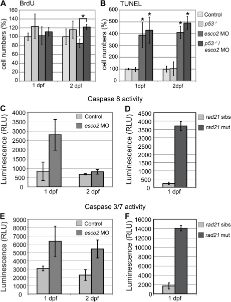 Caspase activity is increased in esco2 morphants and rad21 mutants.A, Numbers of S phase cells detected by BrdU labeling were similar in esco2 morphants and wild type at 1 and 2 dpf. Additional depletion of p53 significantly increased S phase entry in esco2 morphants at 2 dpf (asterisk). B, Apoptotic cells labeled with TUNEL were significantly increased in esco2 morphants compared with wild type at 1 and 2 dpf. Additional depletion of p53 did not rescue the observed apoptosis. Asterisks indicate where a significant difference in cell numbers was observed in esco2 morphants compared with wild type and the p53 mutant. C, Caspase 8 activity in esco2 morphants was increased at 1 dpf, but not at 2 dpf compared to wild type control. D, Caspase 8 activity was severely increased in rad21 mutants (rad21 mut) at 1 dpf compared to siblings (rad21 sibs). E, Caspase 3/7 activity was increased in esco2 morphants at 1 dpf and 2 dpf. F, Caspase 3/7 activity was severely increased in rad21 mutants at 1 dpf.