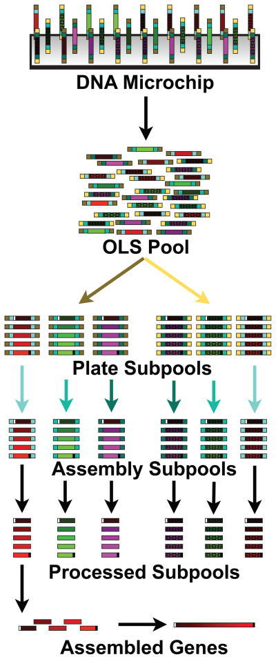 Scalable gene synthesis platform schematic for OLS Pool 2Pre-designed oligonucleotides (no distinction is made between dsDNA and ssDNA in the figure) are synthesized on a DNA microchip (a) and then cleaved to make a pool of oligonucleotides (b). Plate-specific primer sequences (yellow or brown) are used to amplify separate Plate Subpools (c) (only two are shown), which contain DNA to assemble different genes (only three are shown for each plate subpool). Assembly specific sequences (shades of blue) are used to amplify assembly subpools (d) that contain only the DNA required to make a single gene. The primer sequences are cleaved (e) using either Type IIS restriction enzymes (resulting in dsDNA) or by DpnII/USER/γ exonuclease processing (producing ssDNA). Construction primers (shown as white and black sites flanking the full assembly) are then used in an assembly PCR reaction to build a gene from each assembly subpool (f). Depending on the downstream application the assembled products are then cloned either before or after an enzymatic error correction step.