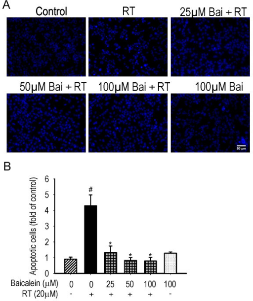 Effects of baicalein (Bai) on rotenone (RT)-induced nuclear apoptosis. Cells were pretreated with Bai for 1 hour and then cotreated with 20 μM RT for 24 hours in serum-free medium. (A) Representative nuclear morphology. Scale bar: 50 μm. (B) Statistical analysis of apoptotic cells. At least 600 randomly selected cells were counted in each experiment (n = 3, #P < 0.01 versus control, *P < 0.01 versus RT treatment).