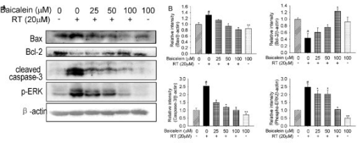 Effects of baicalein (Bai) on rotenone (RT)-induced imbalance in the expression of Bax, Bcl-2, cleaved caspase-3 and phopho-ERK1/2. Cells were pretreated with Bai for 1 hour and then cotreated with 20 μM RT for 24 hours in serum-free medium. Blots were stripped and reprobed for β-actin as a loading control. (A) Representative protein bands. (B) Statistical analysis. The corresponding bar graph represented data quantified from three independent experiments (n = 3, #P < 0.05 versus control, *P < 0.05 versus RT treatment, **P < 0.05 versus control).
