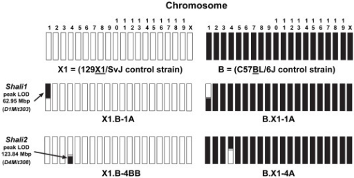 Genomic makeup of the Shali1 (Chr 1) and Shali2 (Chr 4) reciprocal congenic lines.A schematic overview comparing the 19 autosomes and X chromosome for the X1 (white) and B (black) control inbred strains along with the major Shali1 and Shali2 reciprocal congenic strains generated on the recipient X1 strain with B strain donor (X1.B-1A and X1.B-4BB) or recipient B strain with X1 strain donor (B.X1-1A and X1.B-4A). Small regions of unknown parental origin, which map between known SNP markers, are colored grey. MIT markers representing the peak linkage (LOD) score for the Shali1 and Shali2 QTLs are shown at the left, with approximate map location relative to chromosome and transferred region.