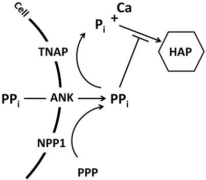 Pyrophosphate homeostasis in the extracellular space.Inorganic phosphate (Pi) is a component of mineral hydroxyapatite (HAP), while pyrophosphate (PPi) is a potent inhibitor of HAP crystal precipitation and growth. The enzyme tissue nonspecific alkaline phosphatase (TNAP) hydrolyzes PPi to release ionic Pi, creating conditions conducive for mineralization. Local PPi is increased by the functions of the progressive ankylosis protein (ANK) and ectonucleotide pyrophosphatase phosphodiesterase 1 (NPP1), which act to keep the mineralization process in check.