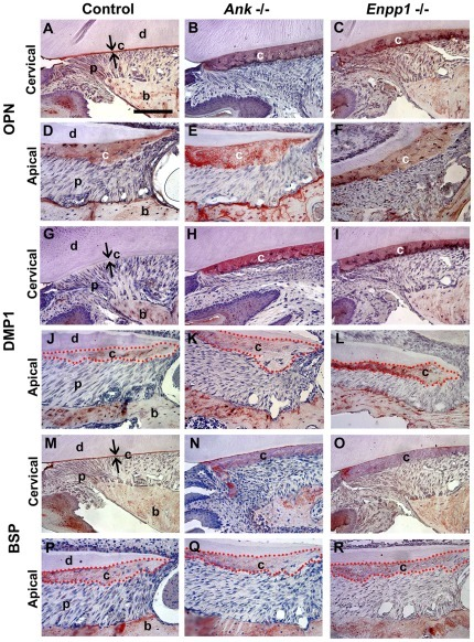 Reduced pyrophosphate alters acellular cementum matrix composition.IHC was performed on Ank and Enpp1+/+ (Control) and −/− tissues at 26 dpn. OPN defines the acellular cementum layer in (A) wild-type cervical cementum, and is intensely localized to the thick AEFC in (B, C) both −/− models. DMP1 did not label acellular cementum in (G) +/+ controls, but was increased dramatically in the thickened cervical cementum of (H, I) both −/− models. BSP was present in (M) control AEFC, as well as in (N, O) Ank and Enpp1−/− AEFC in diluted concentrations. Localization of OPN, DMP1, and BSP was not different in cellular cementum of  models vs. controls (D–F, J–L, and P–R). Abbreviations: d = dentin; c = acellular cementum; p = periodontal ligament; b = bone. Scale bar = 100 µm.