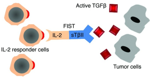 Figure 1. Schematic representation of FIST mechanism of action. Through IL-2 moiety, FIST induces the activation of IL-2 receptor expressing immune cells, whereas the sTβRII moiety functions as decoy receptor blocking tumor-derived TGFβ-mediated suppression on immune cells.