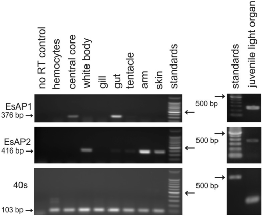 Endpoint PCR analysis of esap1 and esap2 in adult squid tissues and juvenile light organ. The RT reactions for each tissue were performed using 1 µg of total RNA. PCRs were run for 35 cycles, and 10 μl of PCR mixture was loaded into each lane. The 40S ribosomal gene was used as a housekeeping gene control. A control reaction where no reverse transcriptase was added was run to assess genomic contamination. Results are representative of three independent extractions.
