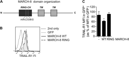 MARCH-8 requires a functional RING domain to down-regulate TRAIL-R1 cell surface expression. MCF-7Casp-3 cells were transfected to express GFP only (−), or GFP-tagged WT MARCH-8, or a MARCH-8 variant carrying ligase-inactivating mutations in its RING domain (MARCH-8 RING). Cell surface levels of TRAIL-R1 were determined by antibody staining, followed by flow cytometric analysis. A, schematic depiction of MARCH-8, on a relative scale, with indication of the RING-CH domain and transmembrane (TM) segments, as well as the three point mutations. B, primary data from a representative experiment, showing histograms of TRAIL-R1 cell surface expression (fluorescence intensity, FI) in GFP+ (MARCH-transfected) cells. C, TRAIL-R1 cell surface expression was quantified and statistically analyzed as described in the legend to Fig. 1C. Data represent mean ± S.D. of values from 3 independent experiments. Asterisk indicates statistically significant differences between cells with WT MARCH-8 versus control or the RING mutant (one-way analysis of variance, Bonferroni correction; *, p < 0.05).