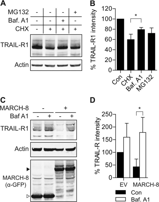 MARCH-8 targets endogenous TRAIL-R1 for lysosomal degradation.A and B, H358 cells were treated with cycloheximide (CHX; 50 μg/ml) alone, or with CHX in combination with bafilomycin A1 (Baf A1; 200 nm) or MG132 (10 μm) for 16 h. Total cell lysates were analyzed by immunoblotting with α-TRAIL-R1 and α-actin antibodies. A, data of a representative experiment. B, mean ± S.D. of quantified values from 3 independent experiments. TRAIL-R1 intensity was corrected for actin expression, the control value was set to 100%. Asterisk indicates statistically significant difference (Student's t test; *, p < 0.05). C and D, MCF-7Casp-3 cells were transfected to express GFP only (−), or GFP-tagged MARCH-8. Cells were treated with BafA1 (100 nm) or left untreated for 16 h. Total cell lysates of GFP+ cells, obtained by flow cytometric sorting, were analyzed by immunoblotting with α-TRAIL-R1 and α-actin antibodies, and α-GFP antibody to detect MARCH-8. Solid and open arrowheads indicate, respectively, MARCH-8.GFP and GFP only. C, data of a representative experiment. D, mean ± S.D. of quantified values from 3 independent experiments. TRAIL-R1 intensity was corrected for actin expression, control value was set to 100%. Asterisk indicates a statistically significant difference (Student's t test; *, p < 0.05).
