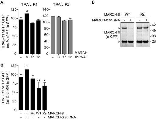 Endogenous MARCH-8 regulates cell surface expression of endogenous TRAIL-R1.A, MCF-7Casp-3 cells were transfected to express GFP (−), together with either a control vector (−), with MARCH-8 targeting shRNA (8), or with two different MARCH-1-targeting shRNAs (1b and 1c). Endogenous TRAIL-R1 cell surface expression was determined by flow cytometric analysis and data were evaluated as described in the legend to Fig. 2. Data represent mean values ± S.D. from 3 independent experiments. Asterisks indicate statistically significant differences compared with GFP-transfected control cells (one-way analysis of variance, Bonferroni correction; ***, p < 0.001). B, validation of the MARCH-8 rescue construct. MCF-7Casp-3 cells were transfected to express GFP-tagged MARCH-8 WT, or a MARCH-8 rescue (Rs) variant carrying silent mutations to allow escape from RNAi. Cells were cotransfected with empty vector (−) or MARCH-8 shRNA construct. MARCH-8.GFP expression was analyzed by immunoblotting for GFP in total cell lysates. C, MCF-7Casp-3 cells were transfected to express GFP (−), GFP-tagged MARCH-8 WT or Rs alone (−), or in conjunction MARCH-8 targeting shRNA (+). Endogenous TRAIL-R1 cell surface expression was determined by flow cytometric analysis and data were evaluated as described in the legend to Fig. 2. Data represent mean ± S.D. from at least 4 independent experiments. Asterisks indicate statistically significant differences compared with GFP-transfected control cells (one-way analysis of variance, Bonferroni correction; ***, p < 0.001).