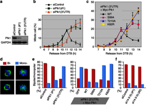 Plk1–Ser99 phosphorylation is dispensable for mitotic entry after release from a second block.(a) The evaluation of Plk1 silencing using each target sequence of Plk1 (#1 or 3′-untranslated region (UTR)). (b) The effect of Plk1 silencing on mitotic entry after DTB synchronization. (c) The evaluation of mitotic index after the replacement. (d) The effect of Plk1 silencing on spindle bipolarity. Examples of monopolar or bipolar spindle formation are shown in the left. (e, f) The effect of the replacement with the indicated Plk1 (e) or 14-3-3γ silencing (f) on bipolar spindle formation. Data were obtained from two independent experiments (n>100; d–f). GAPDH, glyceraldehyde 3-phosphate dehydrogenase.