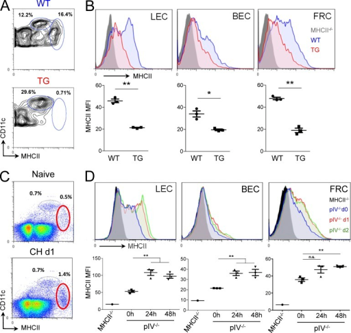 DCs transfer of MHCII molecules to LNSCs in vivo. (A and B) Frequencies of resident (CD11chiMHCIIint) and migratory (CD11intMHCIIhi) DC populations (A), and MHCII expression on LNSCs (B), in LN from WT and K14-VEGFR3-Ig (TG) mice. Graphs show MHCII MFI on LEC, BEC, and FRC from WT and TG mice. Each symbol represents an individual mouse. (C and D) A 1:1 acetone-butyl phthalate mixture was applied or not in the skin of pIV−/− mice. Frequencies of resident and migratory DC populations in the draining LNs 1 d after CH (C). MHC-II levels in LEC, BEC, and FRC 0, 24, and 48 h after CH (D). Graphs show MHCII MFI on LEC, BEC, and FRC. (A–D) Data are representative of at least 2 independent experiments with minimum 3 mice per group. *, P < 0.05; **, P < 0.01. Error bars depict mean ± SEM.