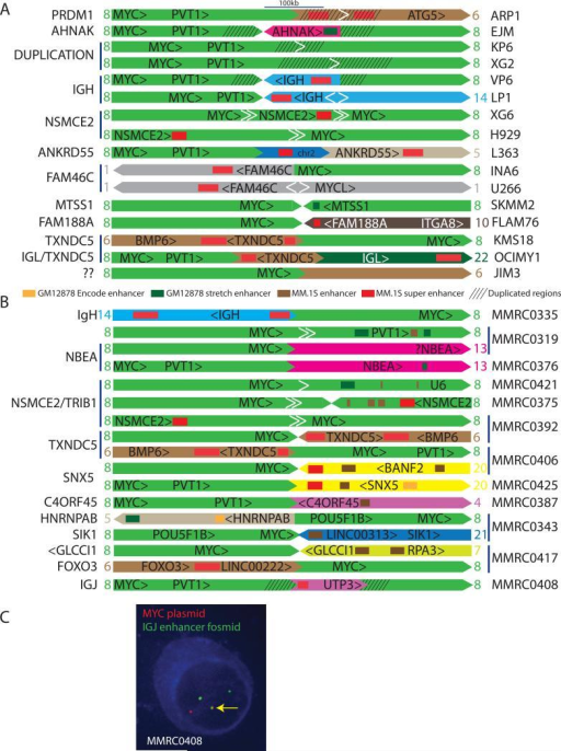 MYC locus rearrangements in 16 MMCL and 12 MMRC tumorsA. The anatomy of MYC locus rearrangements on chr8 (light green) shows MM.1S enhancers and super enhancers, and duplicated regions, with the genes associated with the enhancer regions indicated at the left. Enhancer elements in the MYC locus are not shown here but are shown in Figure 4. The orientations of the chromosomes and transcription units are indicated. The white arrowheads indicate intrachromosomal breakpoints, with the pair of white arrows in XG6 and H929 indicating a deletion, the pair of arrows in U266 and LP1 indicating an inversion, and the single white arrow in ARP1, KP6, and XG2 indicating tandem duplication. A more detailed diagram of the XG6 and LP1 rearrangements is shown in Figure S1. Additional information regarding these rearrangements is included in Results and Table S10.B. The anatomy of MYC locus rearrangements for 12 MMRC tumors is presented as described in Figure 3. Several of the MM tumors have two different rearrangements. Additional information regarding these rearrangements is summarized in Results, Table 2, and Table S11.C. cIg-FISH was performed in MMRC0408 demonstrating co-localization of probes for MYC (red) and the IgJ enhancer (green) in the nuclei of plasma cells with light chain restriction (blue cytoplasmic staining).