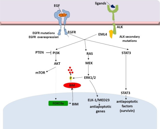 EML4-ALK signaling pathways and potential mechanisms of resistance to targeted therapies. EML4-ALK, echinoderm microtubule-associated protein-like 4- anaplastic lymphoma kinase.