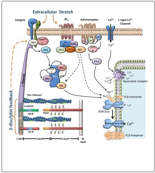 Schematic of regulation of cardiac myocytes function by mechanical stretch.